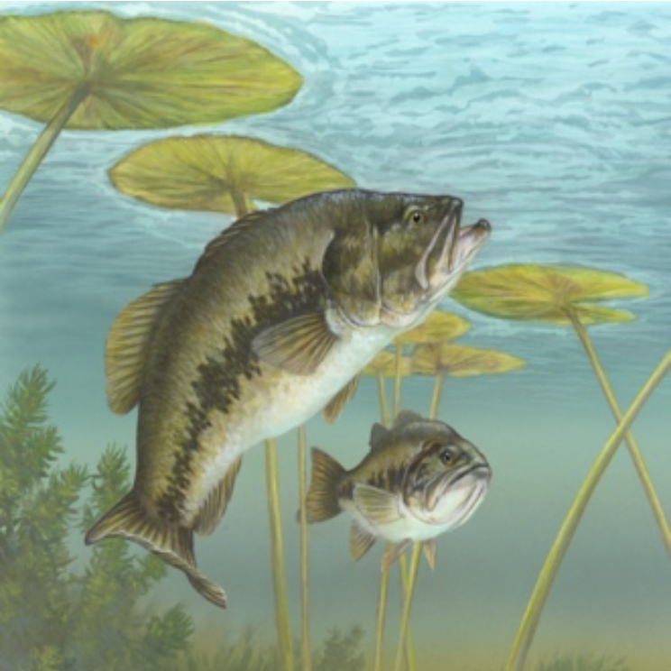 Two bass fish swimming in lillypads